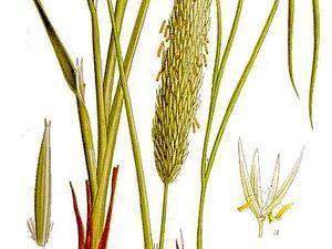 European Beachgrass