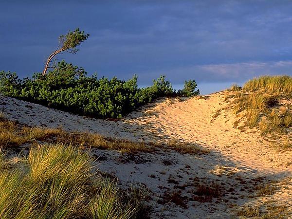 European Beachgrass (Ammophila Arenaria) https://www.sagebud.com/european-beachgrass-ammophila-arenaria