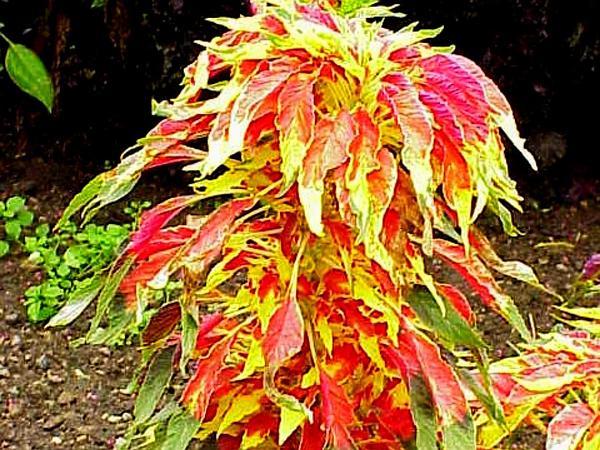 Pigweed (Amaranthus) https://www.sagebud.com/pigweed-amaranthus/
