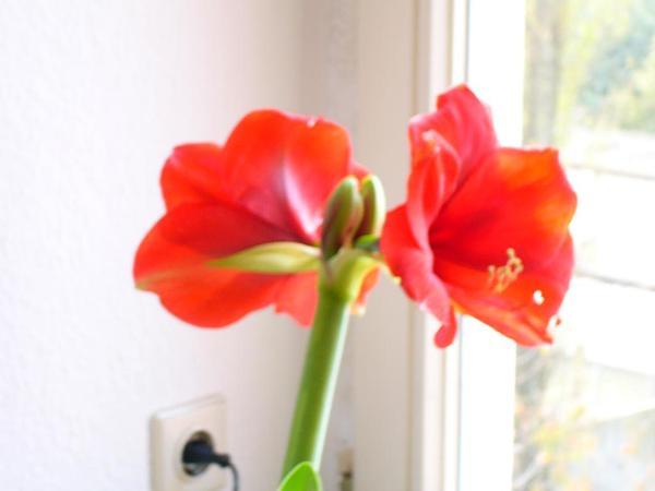 Amaryllis (Amaryllis) https://www.sagebud.com/amaryllis-amaryllis