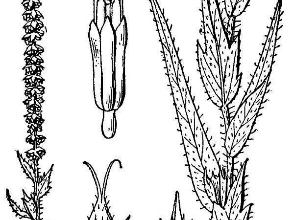 Lanceleaf Ragweed (Ambrosia Bidentata) https://www.sagebud.com/lanceleaf-ragweed-ambrosia-bidentata