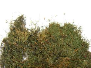 Amblystegium Moss