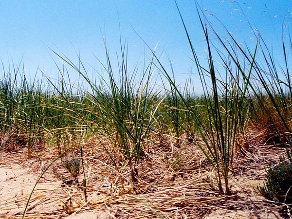 American Beachgrass (Ammophila Breviligulata) https://www.sagebud.com/american-beachgrass-ammophila-breviligulata