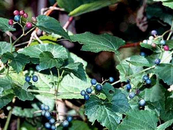 Amur Peppervine (Ampelopsis Brevipedunculata) https://www.sagebud.com/amur-peppervine-ampelopsis-brevipedunculata/