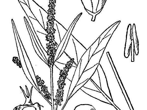 Tidalmarsh Amaranth (Amaranthus Cannabinus) https://www.sagebud.com/tidalmarsh-amaranth-amaranthus-cannabinus