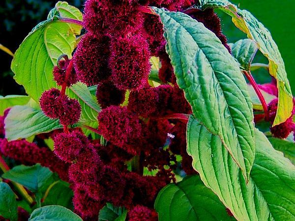 Love-Lies-Bleeding (Amaranthus Caudatus) https://www.sagebud.com/love-lies-bleeding-amaranthus-caudatus