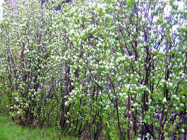 Canadian Serviceberry (Amelanchier Canadensis) https://www.sagebud.com/canadian-serviceberry-amelanchier-canadensis