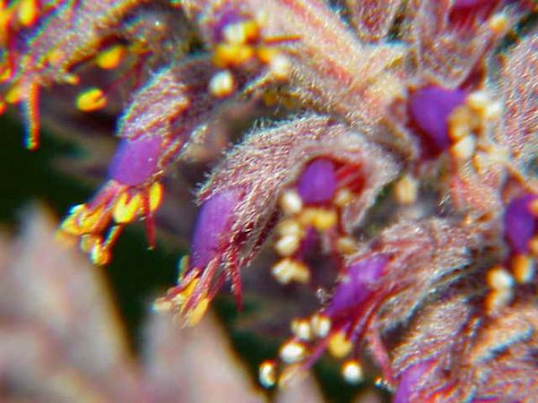 Leadplant (Amorpha Canescens) https://www.sagebud.com/leadplant-amorpha-canescens