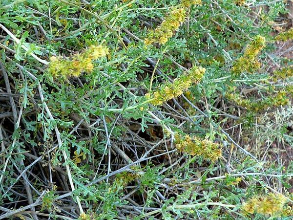 Burrobush (Ambrosia Dumosa) https://www.sagebud.com/burrobush-ambrosia-dumosa