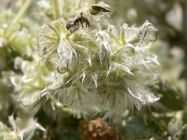 Woolly Fruit Bur Ragweed (Ambrosia Eriocentra) https://www.sagebud.com/woolly-fruit-bur-ragweed-ambrosia-eriocentra