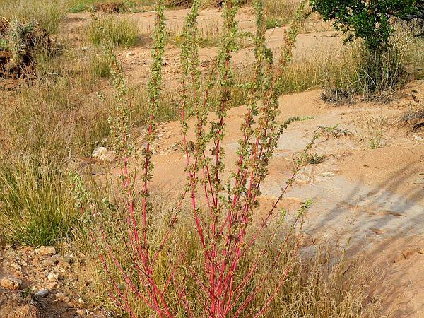 Fringed Amaranth (Amaranthus Fimbriatus) https://www.sagebud.com/fringed-amaranth-amaranthus-fimbriatus