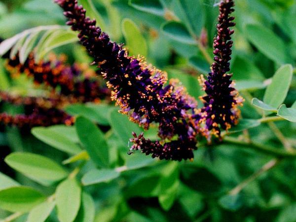 Desert False Indigo (Amorpha Fruticosa) https://www.sagebud.com/desert-false-indigo-amorpha-fruticosa
