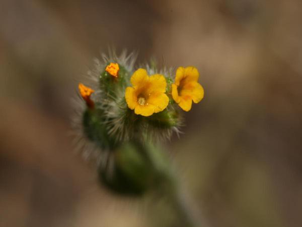 Tarweed Fiddleneck (Amsinckia Lycopsoides) https://www.sagebud.com/tarweed-fiddleneck-amsinckia-lycopsoides