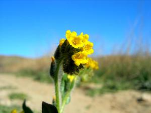Menzies' Fiddleneck