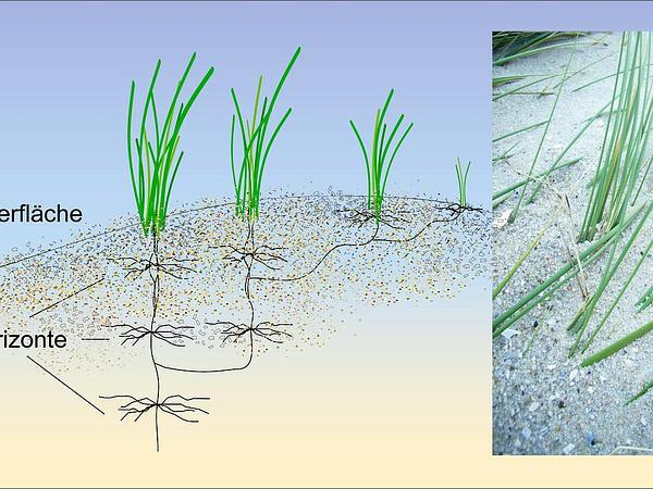 Beachgrass (Ammophila) https://www.sagebud.com/beachgrass-ammophila