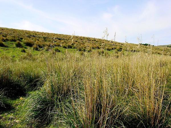 Mauritanian Grass (Ampelodesmos) https://www.sagebud.com/mauritanian-grass-ampelodesmos