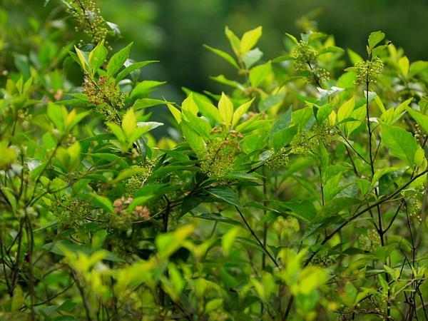 Peppervine (Ampelopsis) https://www.sagebud.com/peppervine-ampelopsis