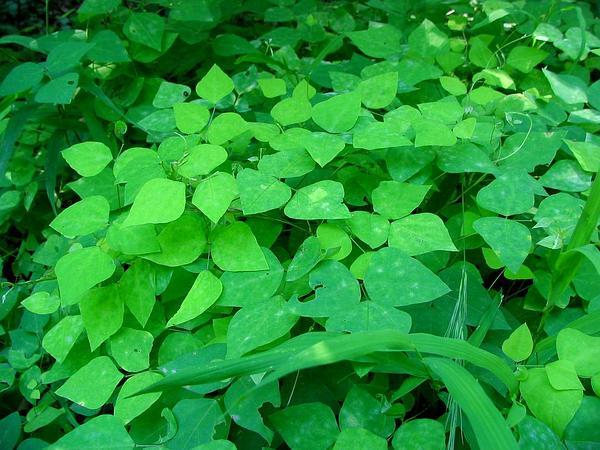 Hogpeanut (Amphicarpaea) https://www.sagebud.com/hogpeanut-amphicarpaea