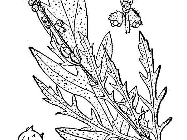 Cuman Ragweed (Ambrosia Psilostachya) https://www.sagebud.com/cuman-ragweed-ambrosia-psilostachya