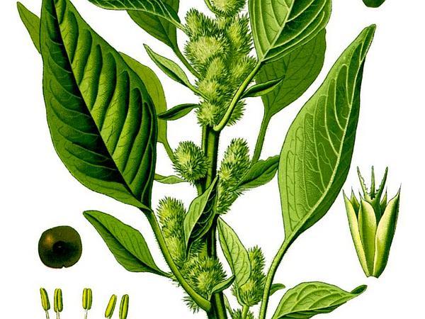 Redroot Amaranth (Amaranthus Retroflexus) https://www.sagebud.com/redroot-amaranth-amaranthus-retroflexus