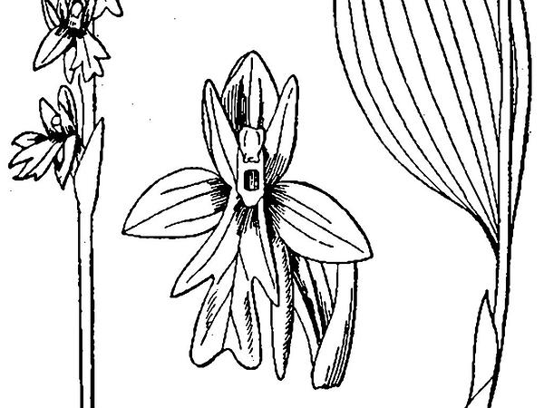 Roundleaf Orchid (Amerorchis Rotundifolia) https://www.sagebud.com/roundleaf-orchid-amerorchis-rotundifolia