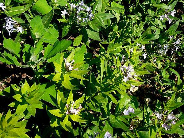 Eastern Bluestar (Amsonia Tabernaemontana) https://www.sagebud.com/eastern-bluestar-amsonia-tabernaemontana