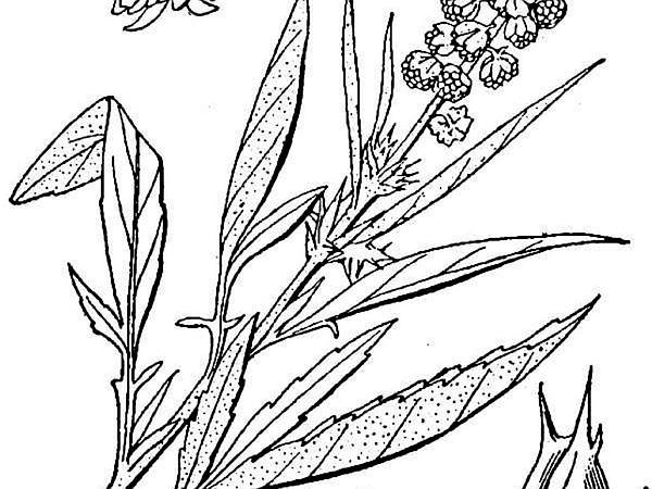 Skeletonleaf Bur Ragweed (Ambrosia Tomentosa) https://www.sagebud.com/skeletonleaf-bur-ragweed-ambrosia-tomentosa/