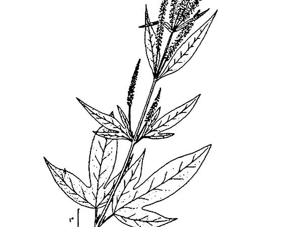 Great Ragweed (Ambrosia Trifida) https://www.sagebud.com/great-ragweed-ambrosia-trifida