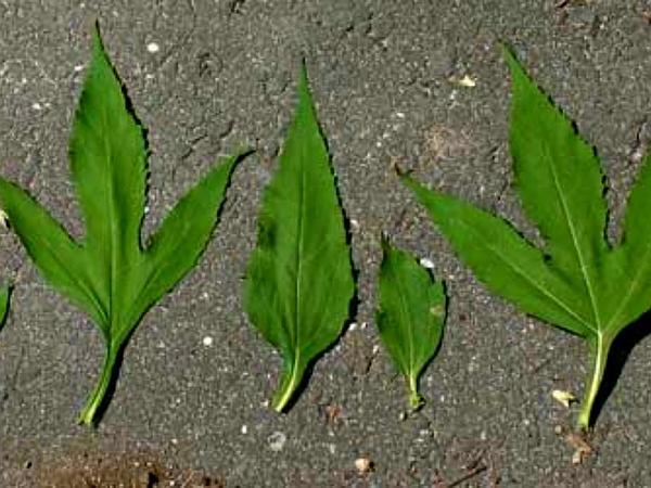Great Ragweed (Ambrosia Trifida) https://www.sagebud.com/great-ragweed-ambrosia-trifida/