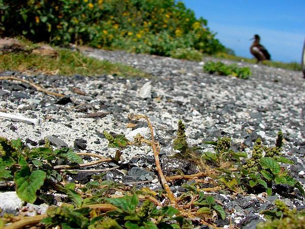 Slender Amaranth (Amaranthus Viridis) https://www.sagebud.com/slender-amaranth-amaranthus-viridis/