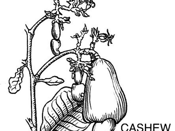 Anacardium (Anacardium) https://www.sagebud.com/anacardium-anacardium/