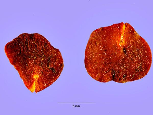 Anadenanthera (Anadenanthera) https://www.sagebud.com/anadenanthera-anadenanthera