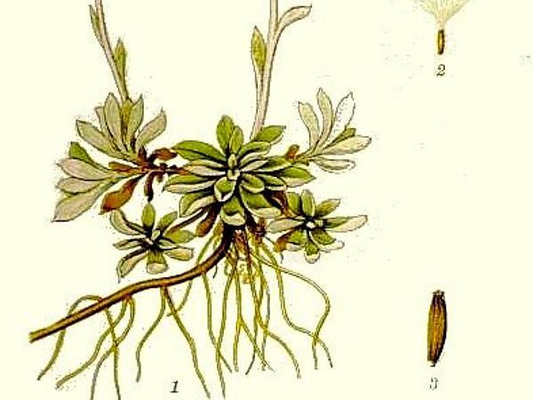 Alpine Pussytoes (Antennaria Alpina) https://www.sagebud.com/alpine-pussytoes-antennaria-alpina