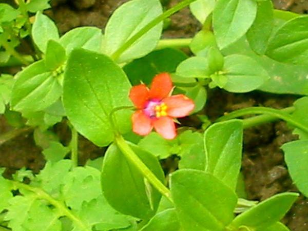 Scarlet Pimpernel (Anagallis Arvensis) https://www.sagebud.com/scarlet-pimpernel-anagallis-arvensis/