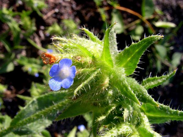 Small Bugloss (Anchusa Arvensis) https://www.sagebud.com/small-bugloss-anchusa-arvensis