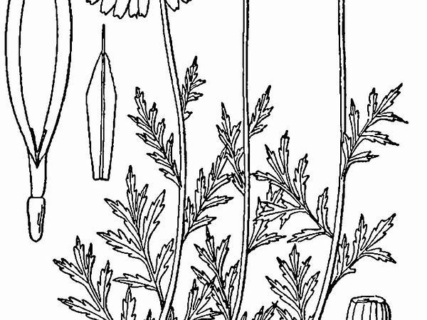 Corn Chamomile (Anthemis Arvensis) https://www.sagebud.com/corn-chamomile-anthemis-arvensis