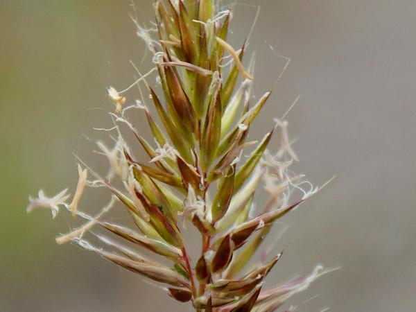 Annual Vernalgrass (Anthoxanthum Aristatum) https://www.sagebud.com/annual-vernalgrass-anthoxanthum-aristatum