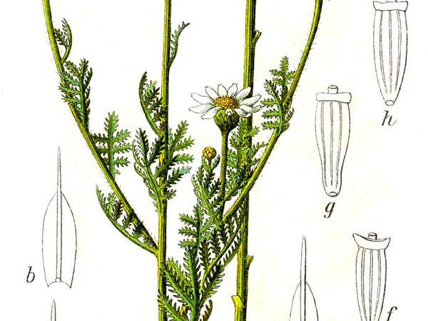 Austrian Chamomile (Anthemis Austriaca) https://www.sagebud.com/austrian-chamomile-anthemis-austriaca
