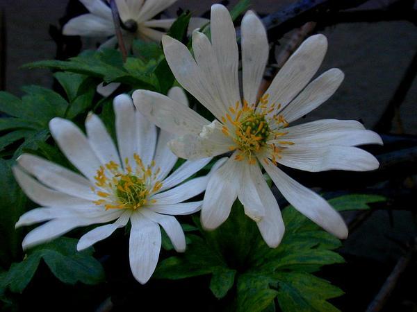 Greek Thimbleweed (Anemone Blanda) https://www.sagebud.com/greek-thimbleweed-anemone-blanda/