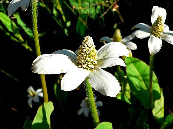 Yerba Mansa (Anemopsis Californica) https://www.sagebud.com/yerba-mansa-anemopsis-californica/