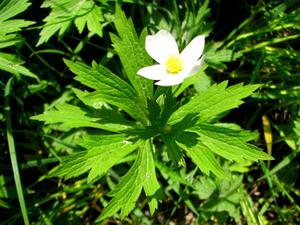 Canadian Anemone