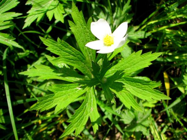 Canadian Anemone (Anemone Canadensis) https://www.sagebud.com/canadian-anemone-anemone-canadensis