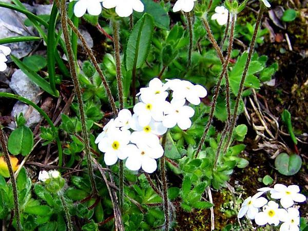 Sweetflower Rockjasmine (Androsace Chamaejasme) https://www.sagebud.com/sweetflower-rockjasmine-androsace-chamaejasme