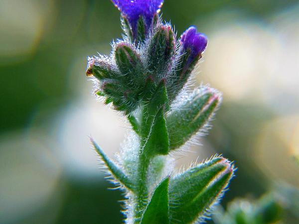 Bugloss (Anchusa) https://www.sagebud.com/bugloss-anchusa