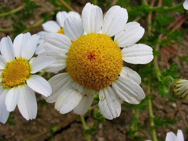 Whitebuttons (Anacyclus Clavatus) https://www.sagebud.com/whitebuttons-anacyclus-clavatus