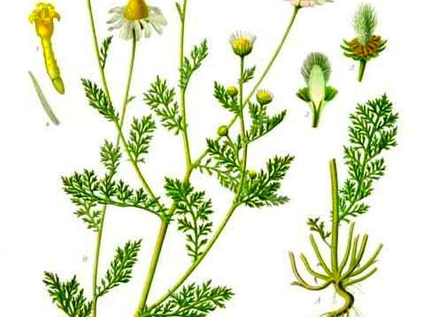 Stinking Chamomile (Anthemis Cotula) https://www.sagebud.com/stinking-chamomile-anthemis-cotula