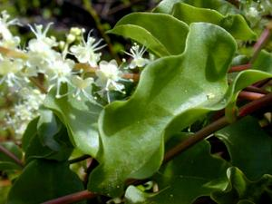 Heartleaf Madeiravine