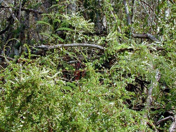 Heartleaf Madeiravine (Anredera Cordifolia) https://www.sagebud.com/heartleaf-madeiravine-anredera-cordifolia