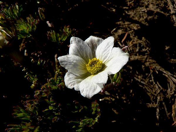 Drummond's Anemone (Anemone Drummondii) https://www.sagebud.com/drummonds-anemone-anemone-drummondii