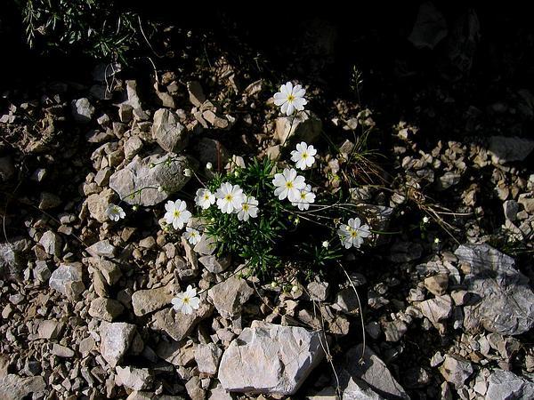 Rockjasmine (Androsace) https://www.sagebud.com/rockjasmine-androsace/